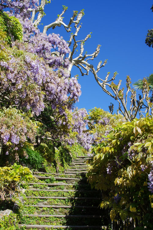 Glycines du jardin de la Villa del Balbianello
