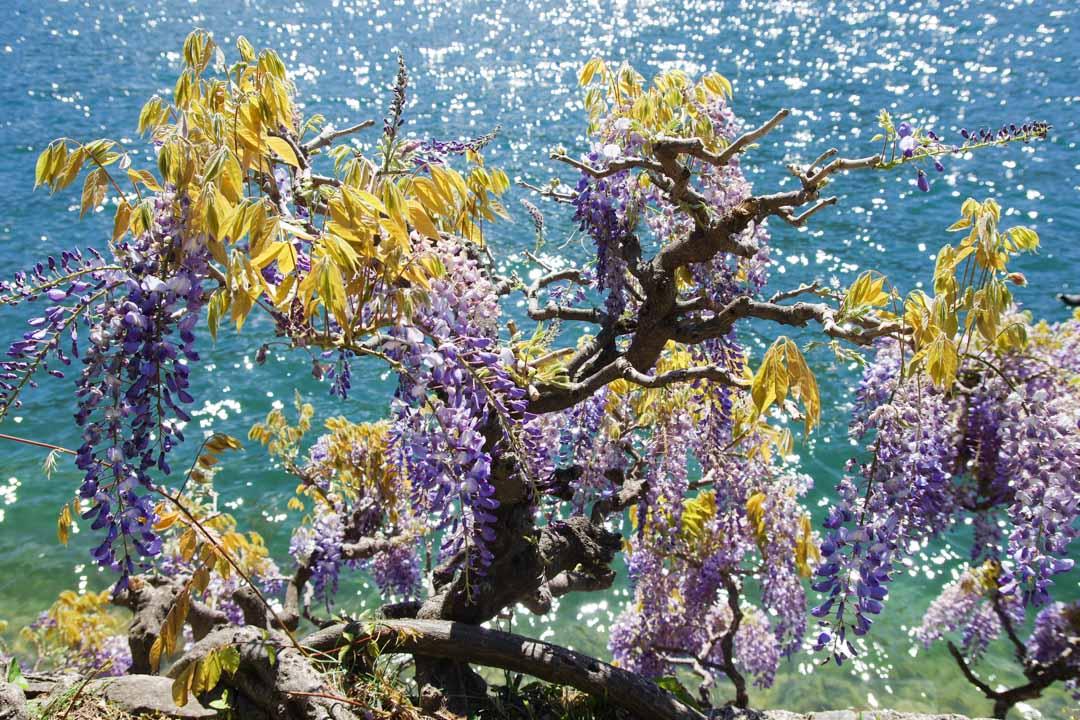 Glycine en fleurs au bord du lac de Lugano