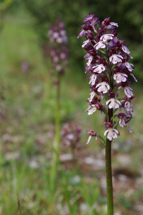 Une orchidées sauvage en Corrèze