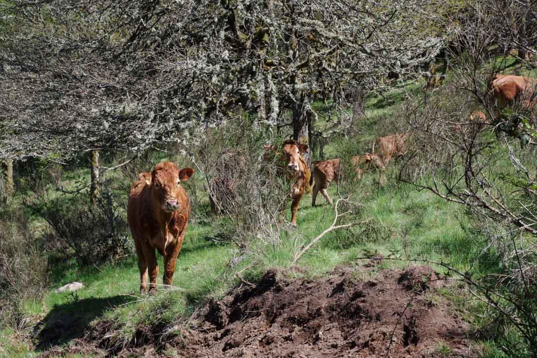 Un troupeau de vaches sur le plateau de Millevaches - Corrèze
