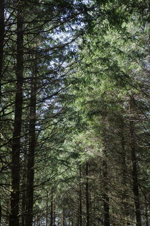 Forêt de Conifères - Plateau de Millevaches