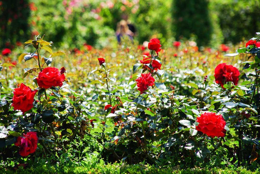 Buisson de roses rouges Roseraie de l'Hay les Roses