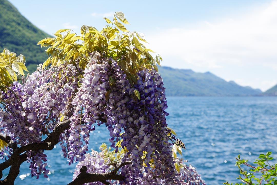 Des glycines en fleurs au bord du lac de Lugano