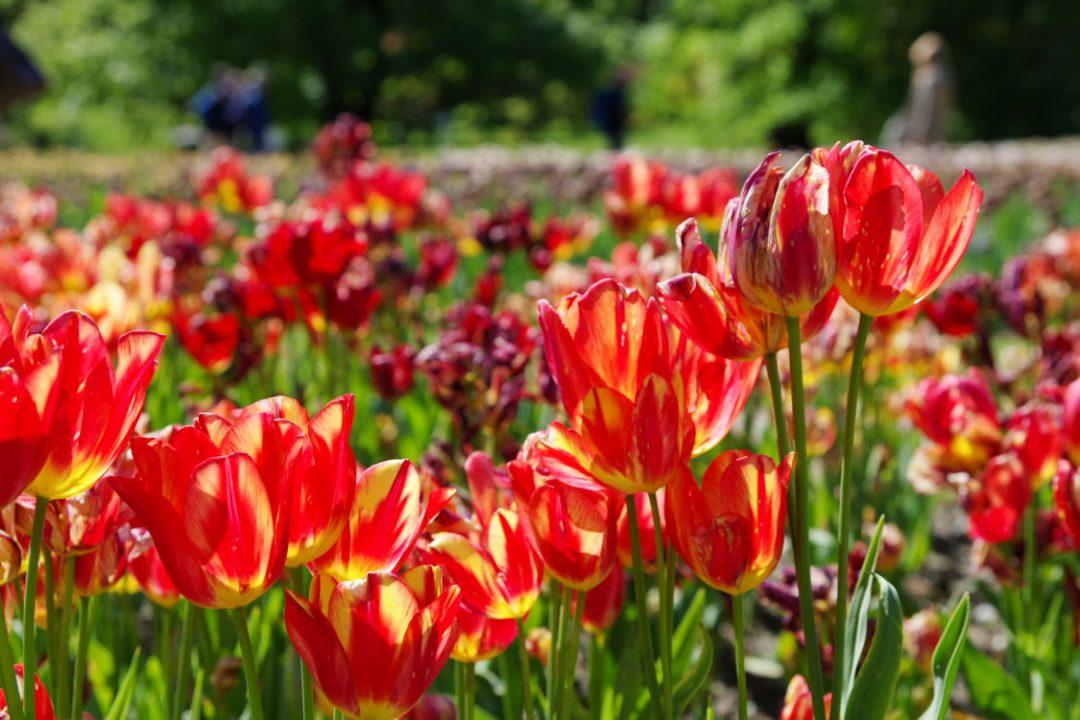 Tulipe en fleurs dans les jardins botaniques de la Villa Taranto