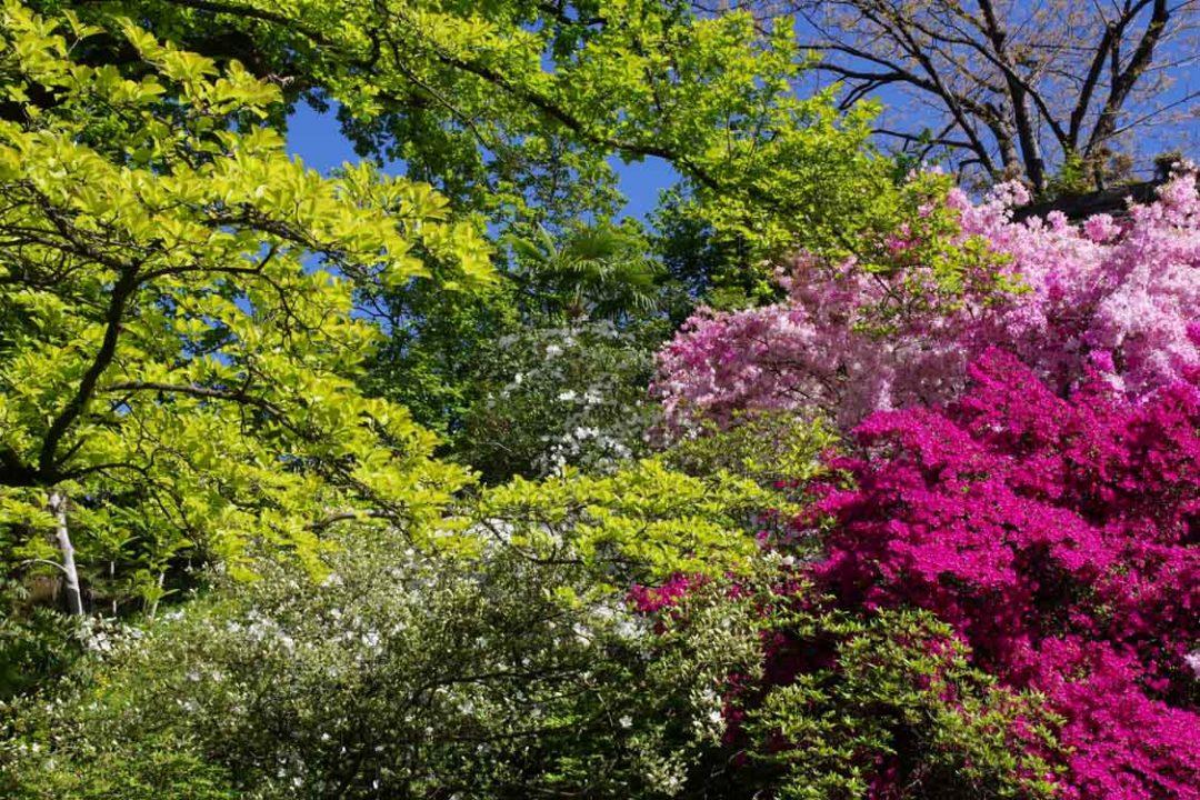 Azallées en fleur - Jardin botanique Villa Taranto