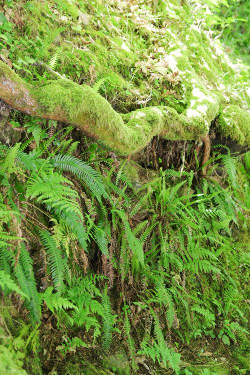 Fougères près des cascades de Gimel
