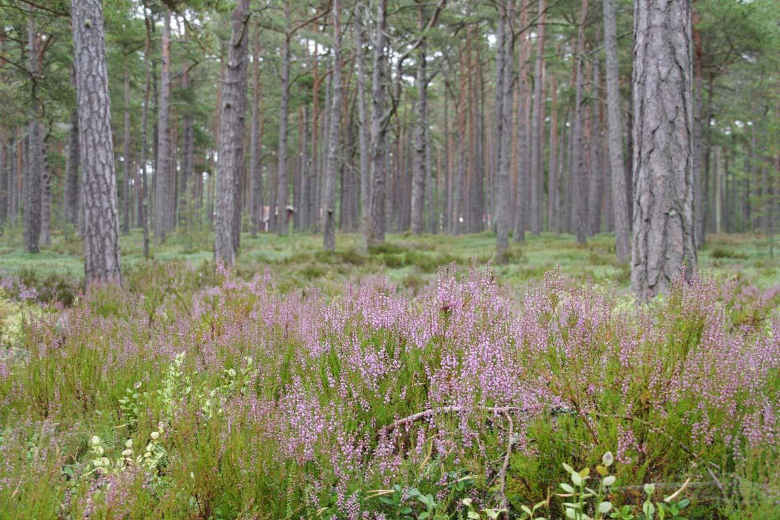pinède de Sandhamn dans l'archipel de Stockholm