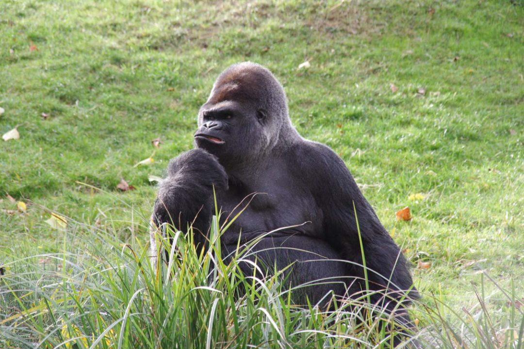 Gorille du zoo de Beauval
