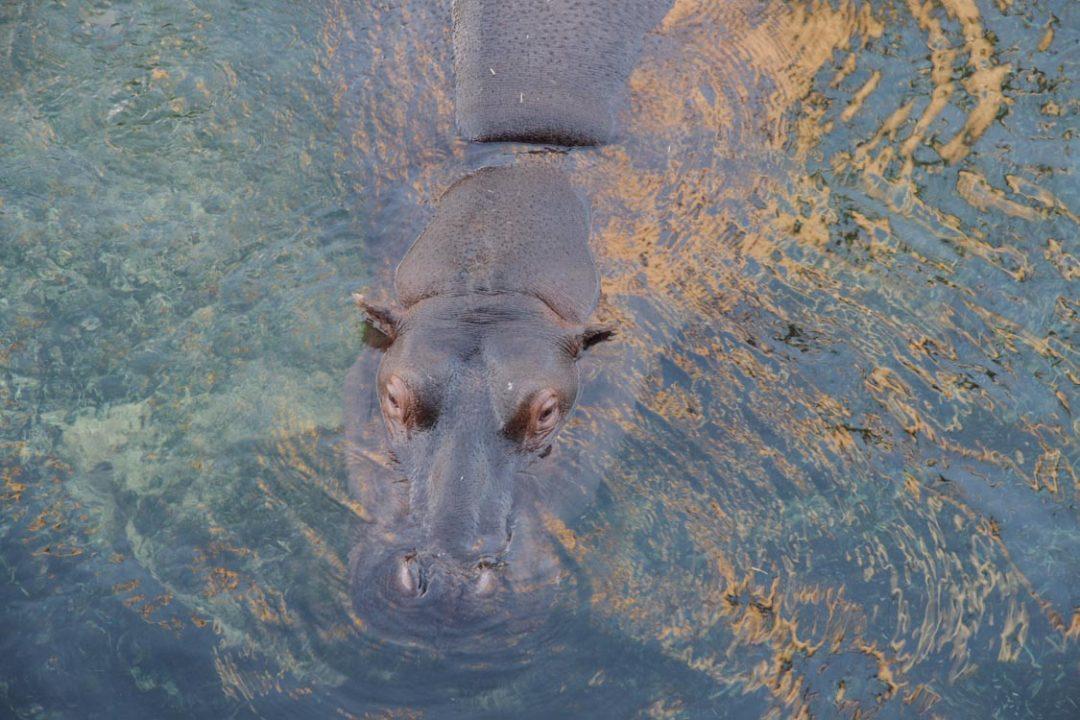Hippopotame amphibie - Zoo de Beauval