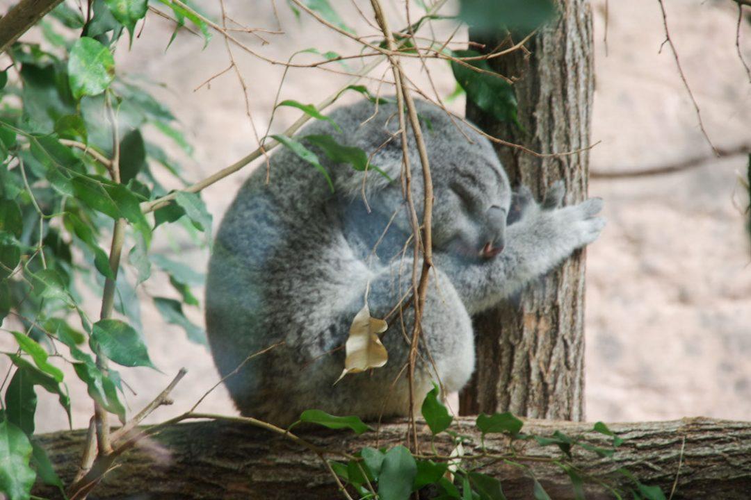 Koala - Zoo de Beauval