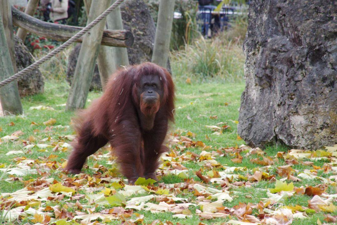orang-outan - Zoo de Beauval