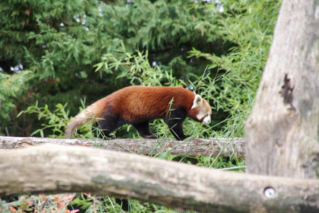 Petit panda roux - Zoo de Beauval