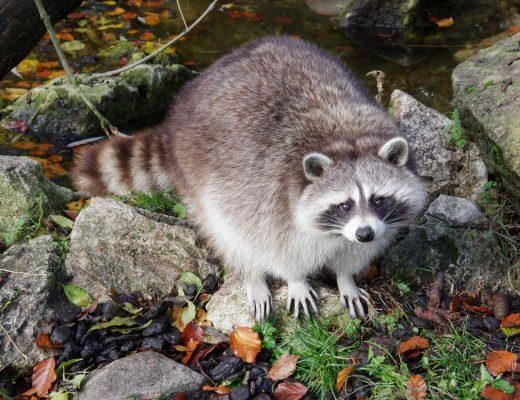 Raton Laveur - Zoo de Beauval