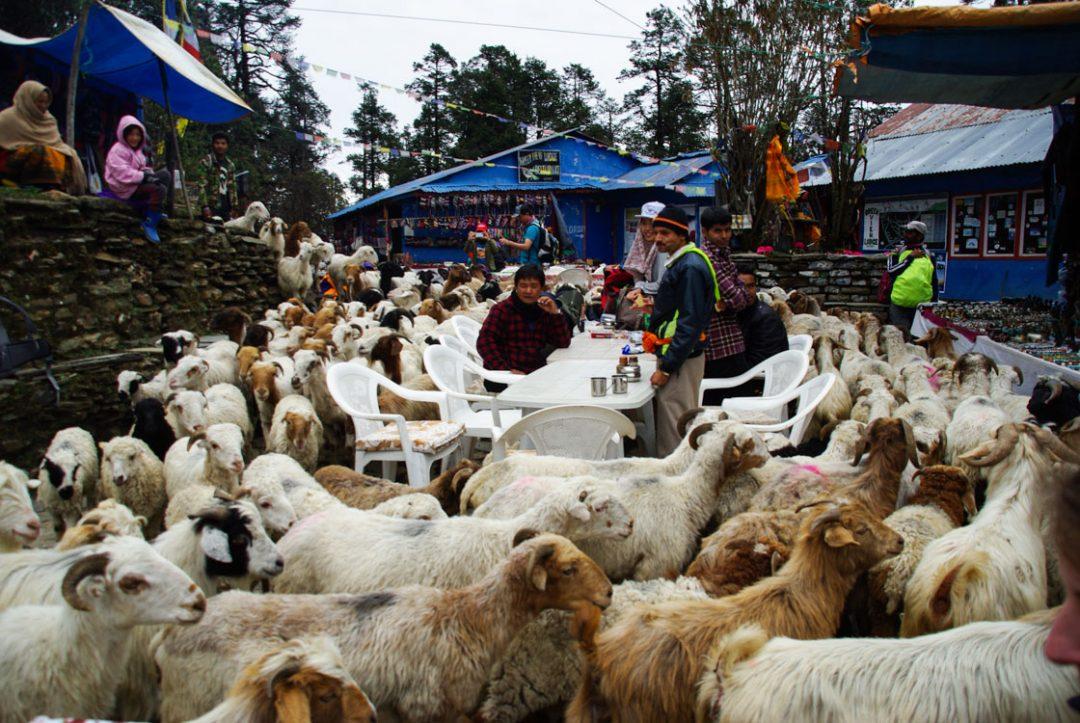 pause déjeuner au milieu des chèvres