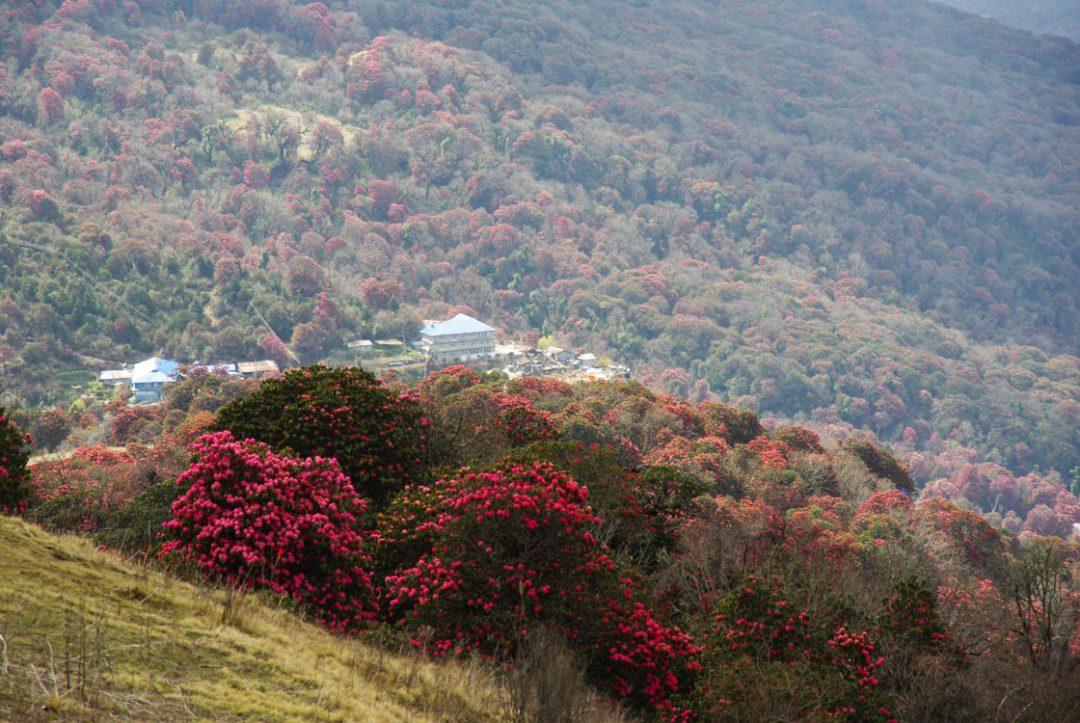 Vue sur Ghorephani avec des rhododendrons en fleurs