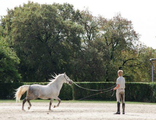 dressage d'un cheval lippizan