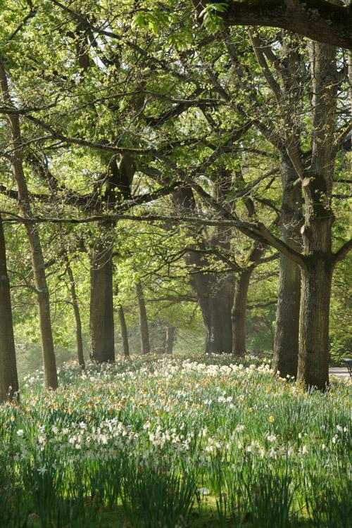 Jonquilles en fleurs - Parc Tharbor - Rennes