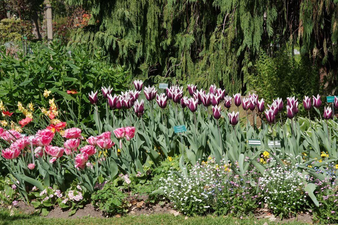 Parterre de tulipes - Parc Tharbor - Rennes