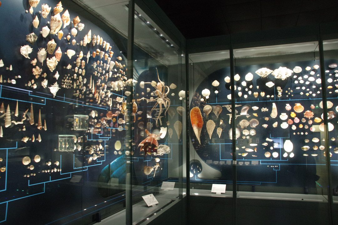 Vitrine de coquillage - museum d'histoire naturelle
