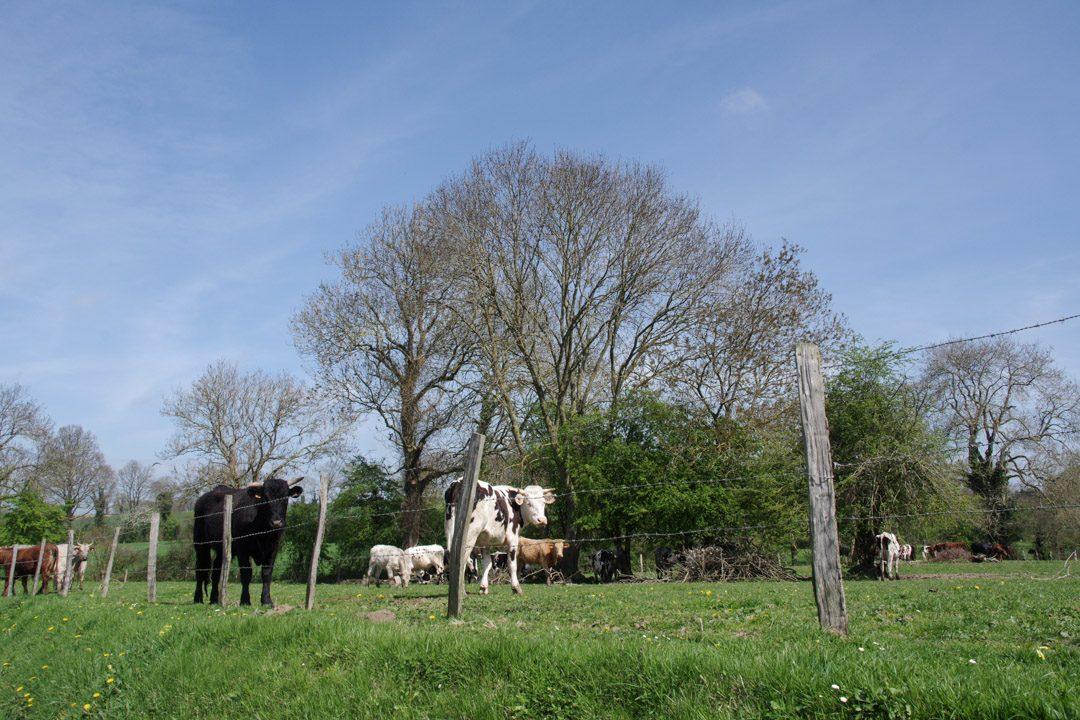 Les vaches de normandie