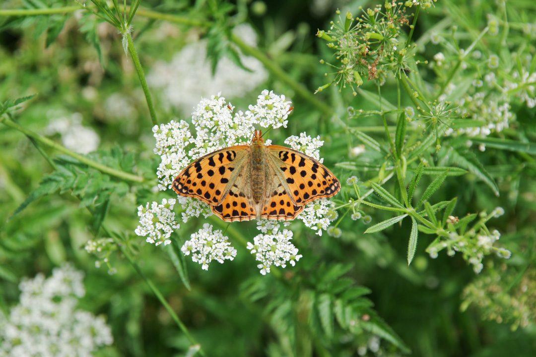Papillon moyen nacré