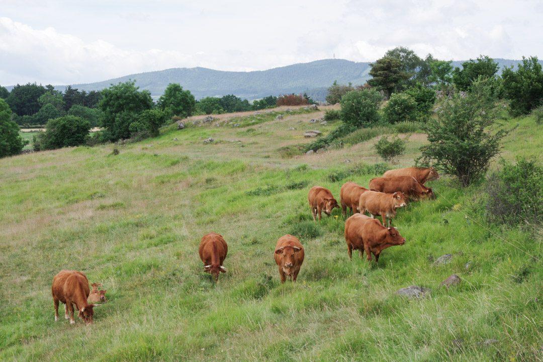 vache dans un pâturage en Haute Loire