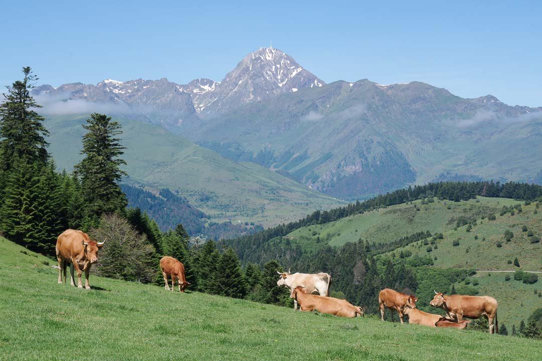 les vaches du col d'Aspin et la vue sur le Pic du Midi