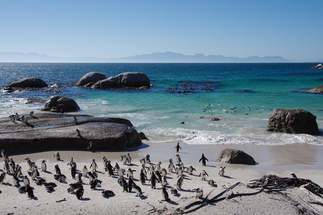 La colonie de manchots du Cap de Boulders Beach