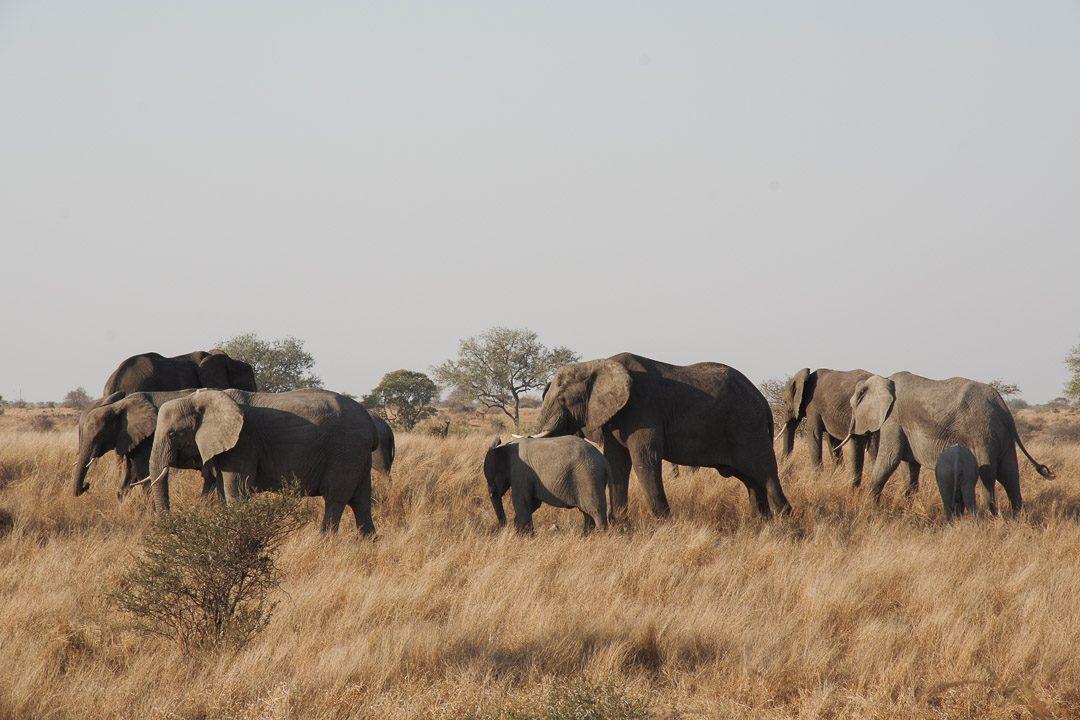 troupeaux d'éléphants au Parc Kruger - Afrique du Sud