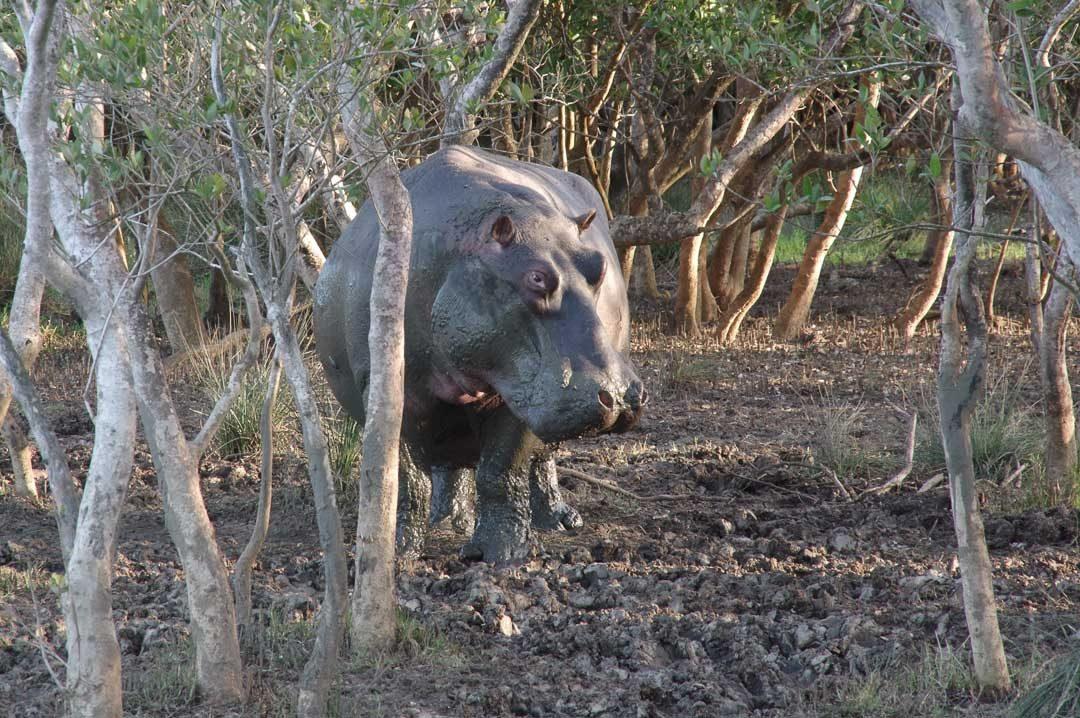 un hipoppotame à Santa lucia