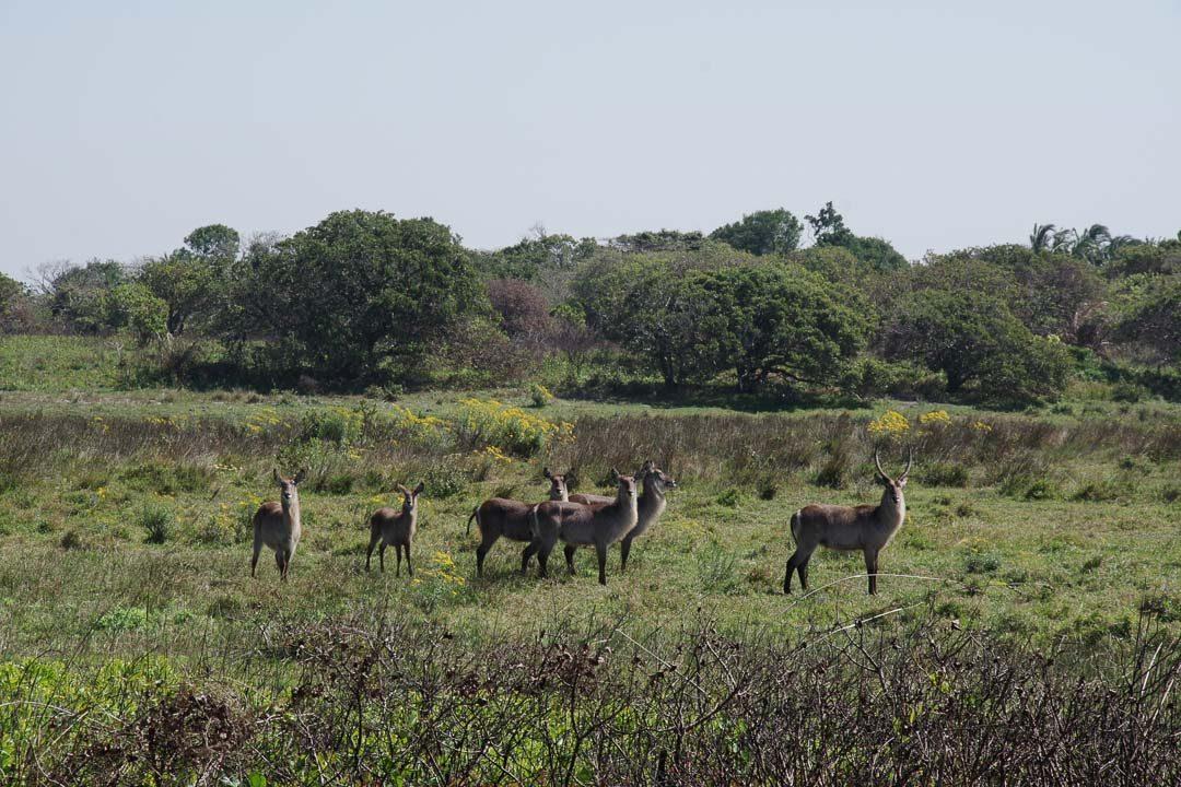 des waterbuck dans le parc isigmangaliso