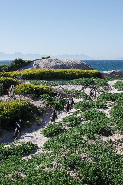 Les manchots du Cap - Afrique du Sud