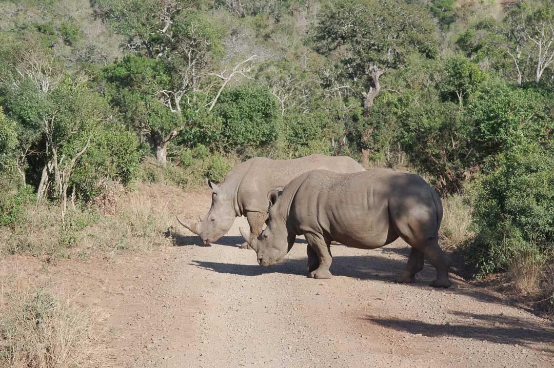 Des rhinoceros blancs à Hluhluwe