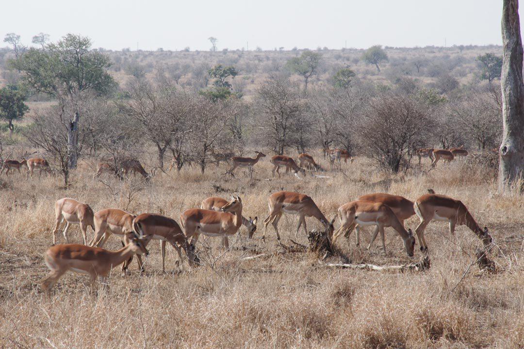troupeau d'impalas au Parc Kruger