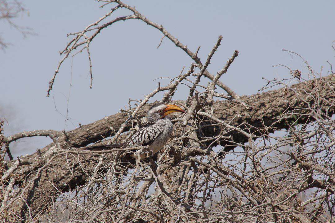 Calao au parc Kruger