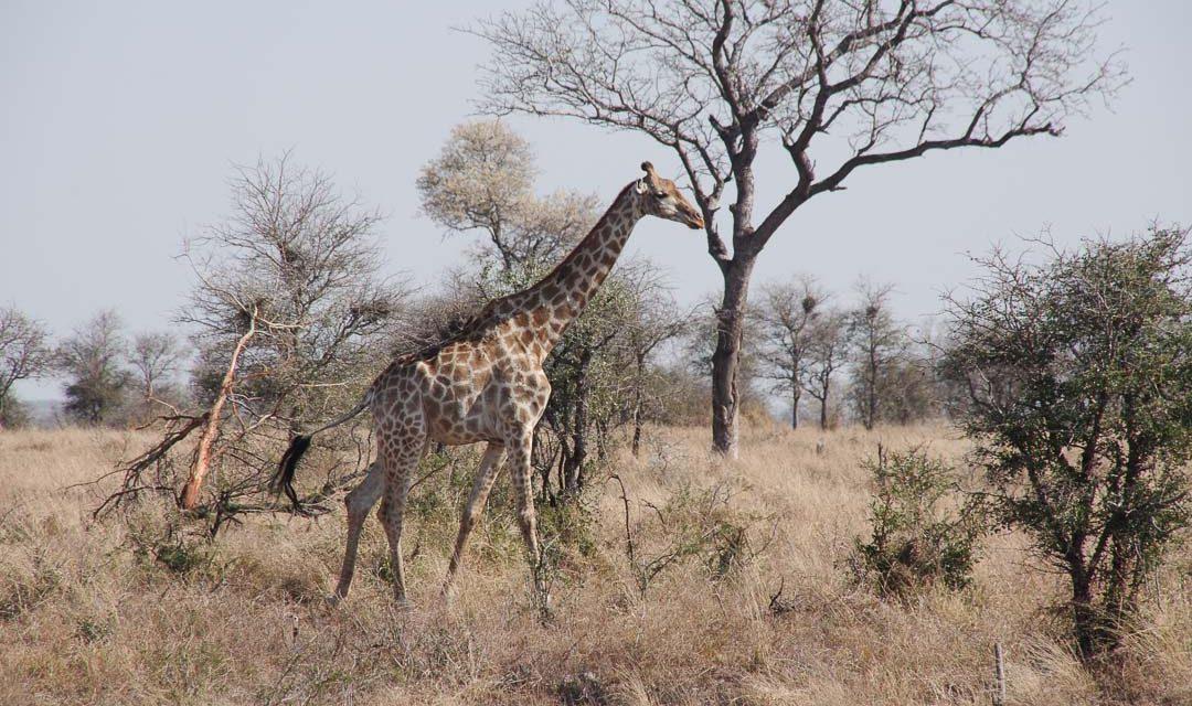 Le guide pratique pour réaliser un safari au Parc Kruger