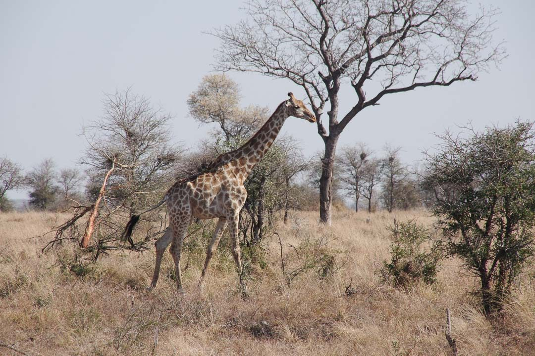 Obersvation de Girafe au Parc Kruger