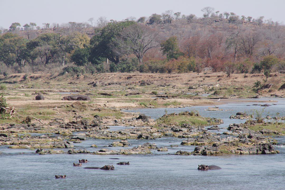 Hippopotames se baignant dans la rivière Olifant au Parc Kruger