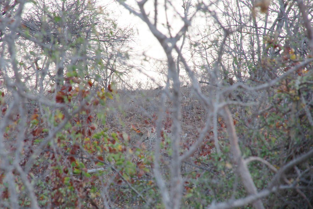 léopard endormi au Parc Kruger