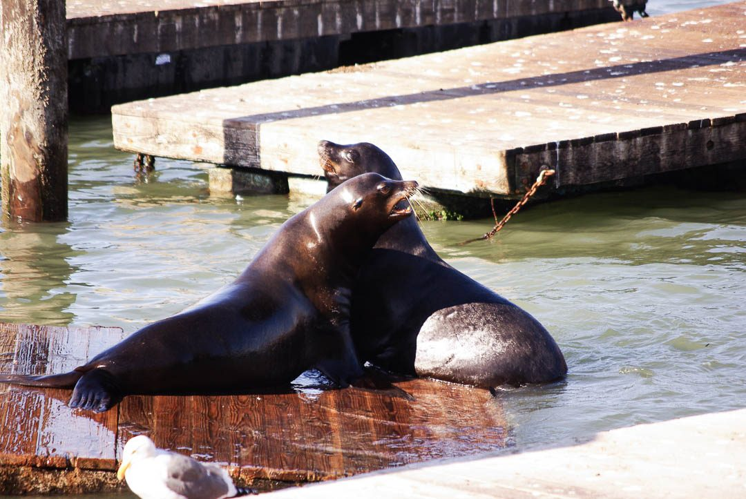les otaries du Pier 39 - San Francisco