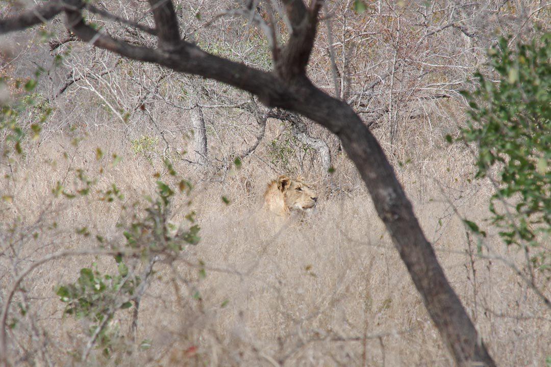 photo de lion au parc kruger