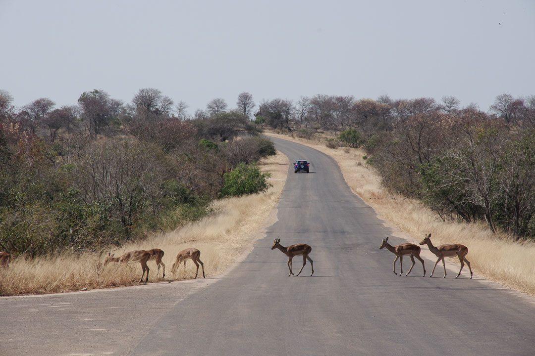 route du parc kruger traversé par des impalas