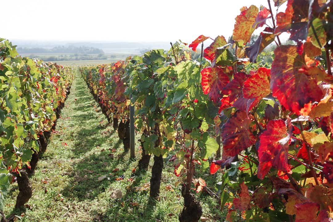 les vignes de Bourgogne au début de l'autmone