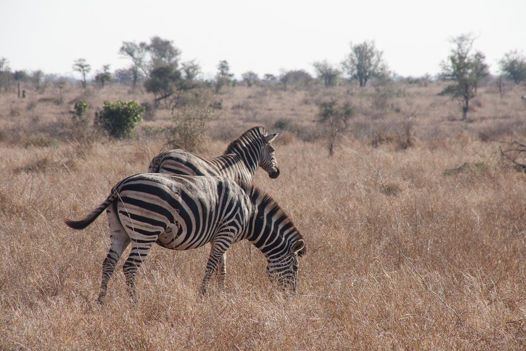 Deux zèbres au Parc Kruger
