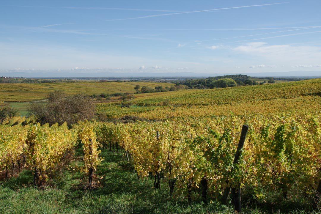 les vignobles de la route des vins d'Alsace