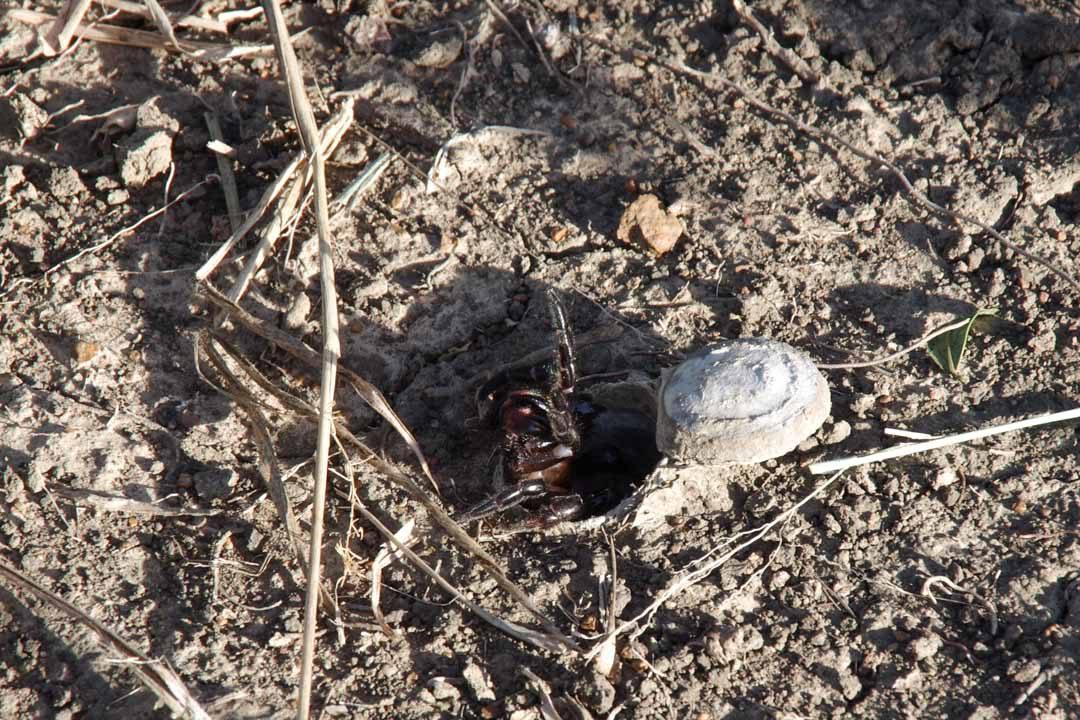 Araignée d'Afrique qui se cache dans un trou