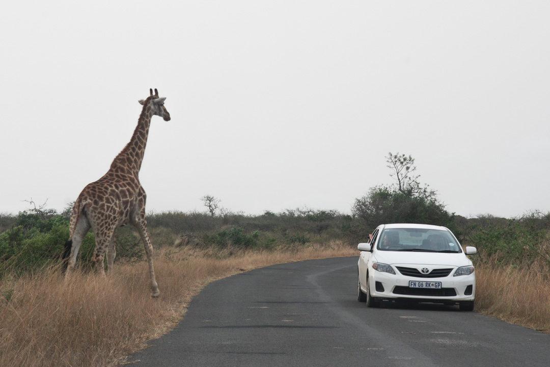 Une girafe traversant la route - Parc de Hluhluwe