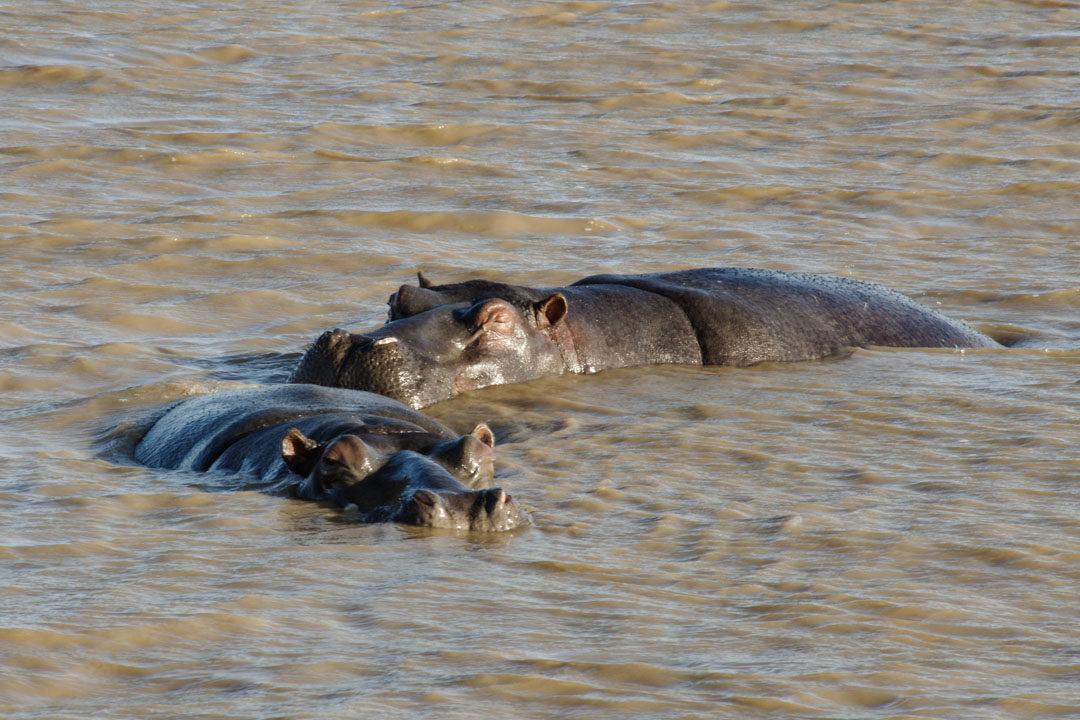 Hippopotame dans l'esturaire de Santa Lucia - Afrique du Sud