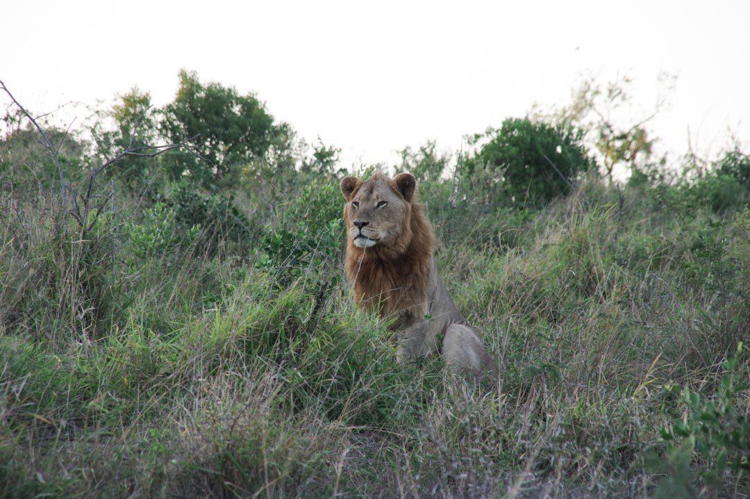 un lion dans la réserve Hluhluwe en Afrique du Sud