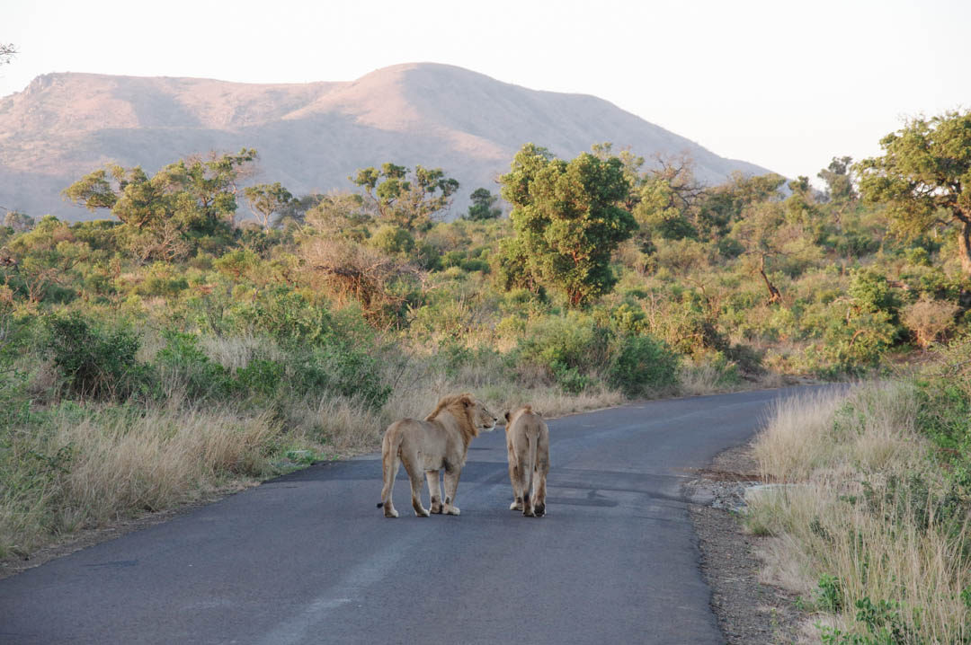 un couple de lion au milieu de la route